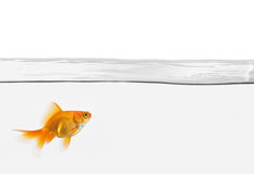 Single goldfish in water isolated Royalty Free Stock Images