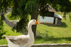 Single goose in countryside Stock Photo