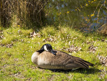 Single goose laying in the sun Royalty Free Stock Photos