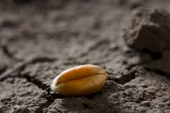 Single grain on arid land Royalty Free Stock Images