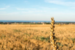 Single grain spike. Germany: single grain spike with yellow field in the background on a sunny afternoon Royalty Free Stock Photography