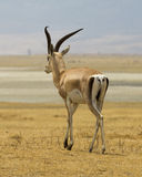 A single Grant`s Gazelle walking away Royalty Free Stock Image