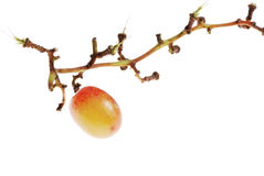 Single Grape Royalty Free Stock Photos