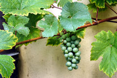 Single grape Royalty Free Stock Photo