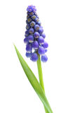 Single Grape Hyacinth Stock Images