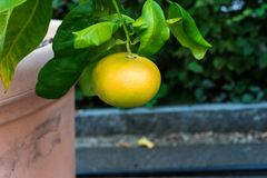 Single yellow fruit grapefruit hanging from citrus paradisi grapefruit royalty free stock images