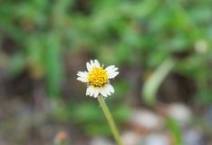 Grass flower growing up on the roadside in countryside of Thailand looks fresh and beautiful. Single grass flower growing up on roadside in countryside, look royalty free stock photos