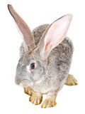 Single gray rabbit Royalty Free Stock Photos