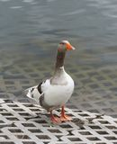 Single gray-white goose with red beak. Stands near water on the river embankment. Close-up view royalty free stock images