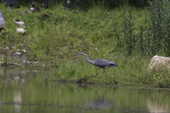 A single Great Blue Heron Royalty Free Stock Image