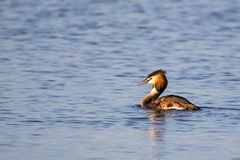 Single Great Crested Grebe (podiceps cristatus) swimming from ri. Ght to left in golden sunlight royalty free stock images