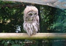 Single Great Grey Owl, Strix Nebulosa, Carabo Stock Image