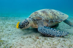 Single great sea turtle in tropical sea - underwater Royalty Free Stock Photo