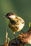 Single great tit sits on dry branch Stock Photo