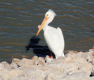 Single Great White Pelican Stock Images