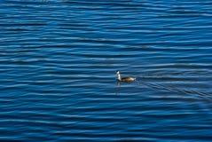 A single grebe swims in the lake with a light wave and looks towards the camera in bright sunshine. Ein einzelner Haubentaucher schwimmt im See mit leichtem Stock Image