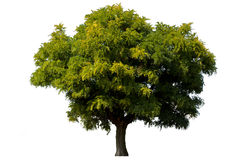 Single green acacia tree isolated Stock Photography