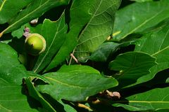 Single green acorn in green foliage of oak Quercus tree. Shot in natural daylight sunshine Royalty Free Stock Image