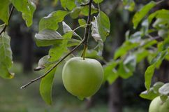 Single green apple on tree Royalty Free Stock Photos