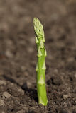 Single green Asparagus spear growing Stock Images