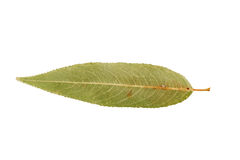 Single green autumn leave isolated on white Stock Photos