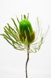Single green banksia flower Royalty Free Stock Photos