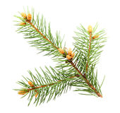 Single green branch of fur-tree Royalty Free Stock Image