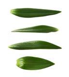 Single green chrysanthemus leaf isolated Stock Photo