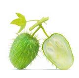 Single green cucumber Stock Image