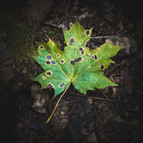 Single green fallen maple leaf Royalty Free Stock Photography