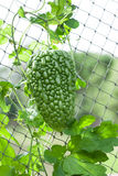 Single green gourd Royalty Free Stock Image