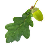 Single green leaf and acorn isolated on white Stock Photos
