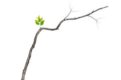 Single green leaf on dry branch isolated on white. Background Royalty Free Stock Photos