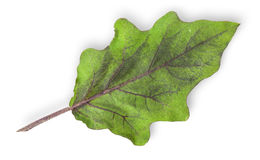 Single green leaf of eggplant Stock Photo
