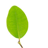 Single green leaf isolated on white with  path Royalty Free Stock Photo