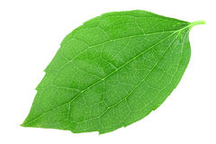 Single green leaf of jasmine stock photos