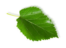 Single green leaf mulberry Royalty Free Stock Image