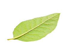 Single green leaf on opposite side close up Stock Photo