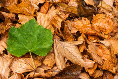 Single green leaf over dead leaves Stock Photo