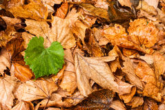 Single green leaf over dead leaves Royalty Free Stock Photos