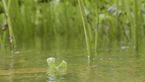 Single green leaf over the water. Green leaves over the water and plants background. Sun beams and green leaves at water stock footage