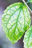 Single Green Leaf with Visible Large Veins Royalty Free Stock Image