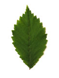 Single green leave Royalty Free Stock Image