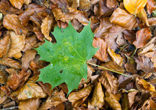 Single green  leave on autum foliage. Single green maple leave on dry golden autum foliage, concept for youth and new generation and standing out, being unique Royalty Free Stock Images