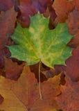 Single green leave on autum foliage. Single green maple leave on dry golden autum foliage Stock Photos