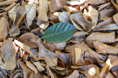 Single green  leave on dry autumn leaves background Royalty Free Stock Images