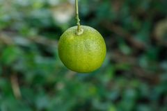Cultivation green lemon hanging on tree royalty free stock image