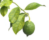 Single green lemon grows on citrus branch Royalty Free Stock Photos