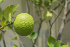 Single green lime on tree. Closeup for single green lime on tree stock images
