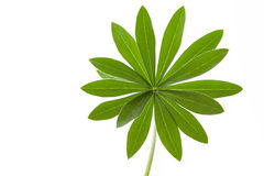 Single green lupine leaf Royalty Free Stock Image